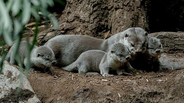 Sette lontre nate nello zoo di Praga