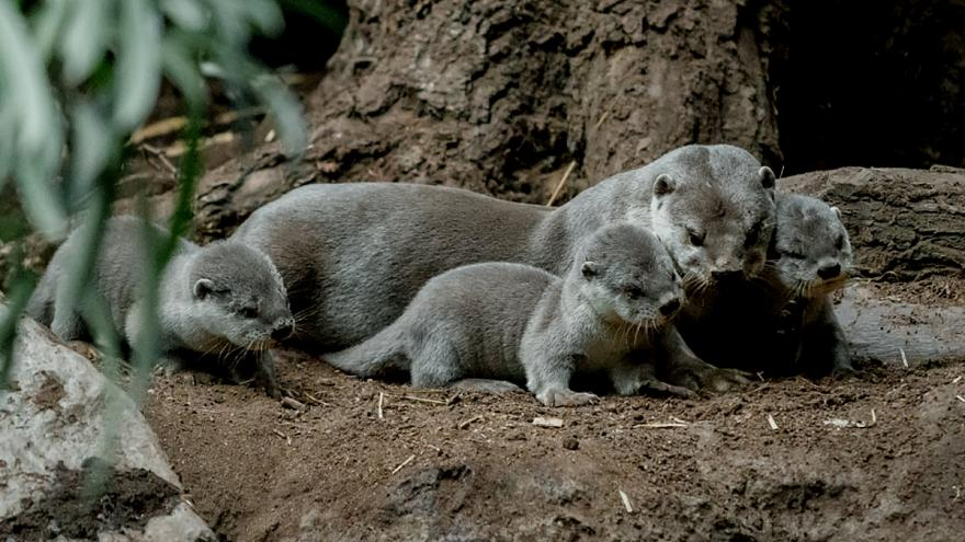 Seven otter cubs born at Prague zoo