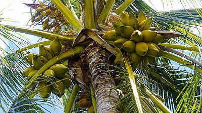 Le Nigeria mise sur la filière coco