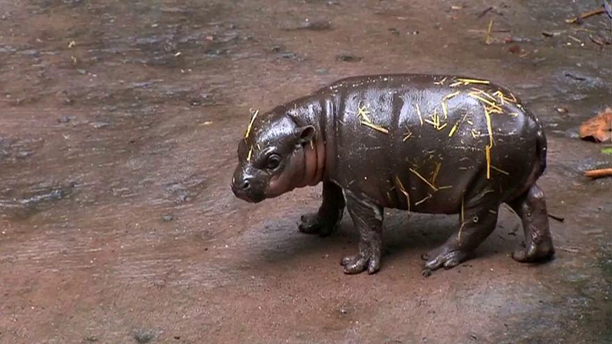 Зоопарк в Таронге представил детеныша карликового гиппопотама