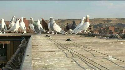 Égypte : dilemme entre la consommation de pigeons et leur protection
