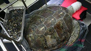 Megölték a pénzérmék a thaiföldi szerencsehozó teknőst