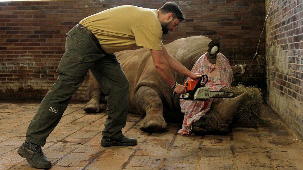 Un zoo tchèque décorne ses rhinocéros pour les protéger des braconniers