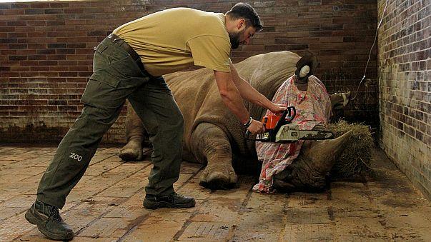 В чешском зоопарке отпиливают рога носорогам