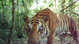 Rare breeding tigers caught on camera in Thailand