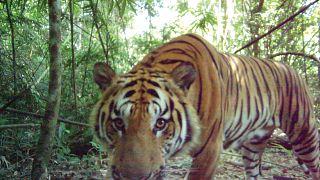 Rare breeding tigers caught on camera in Thailand