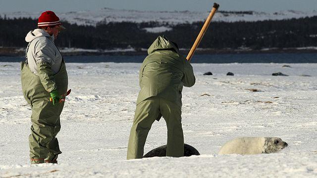 Robbenjagd in Kanada: Bis zu 5.000 Tiere werden getötet