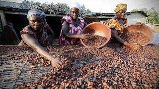Ivory Coast slashes cocoa farmers' price for mid-crop