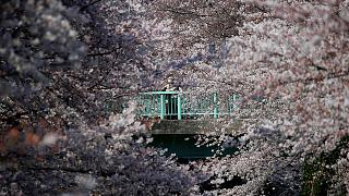 Kirschbäume in Japan stehen in voller Blüte
