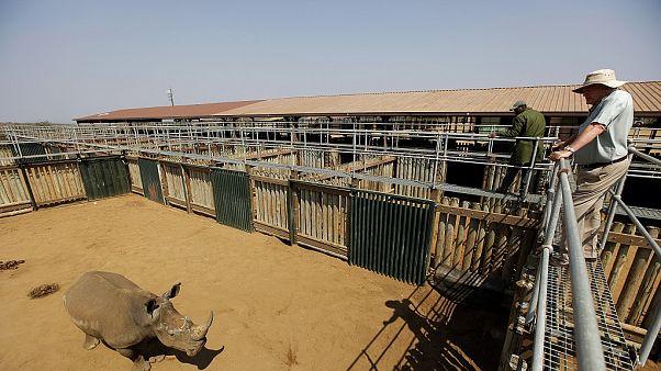 Afrique du Sud: la justice donne son aval pour le «business» de corne de rhinocéros