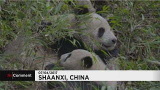 Pandas gigantes: Momentos da vida de mãe e filho no seu habitat natural