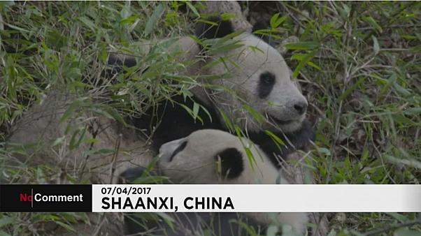 Giant panda mum breastfeeds cub in the wild