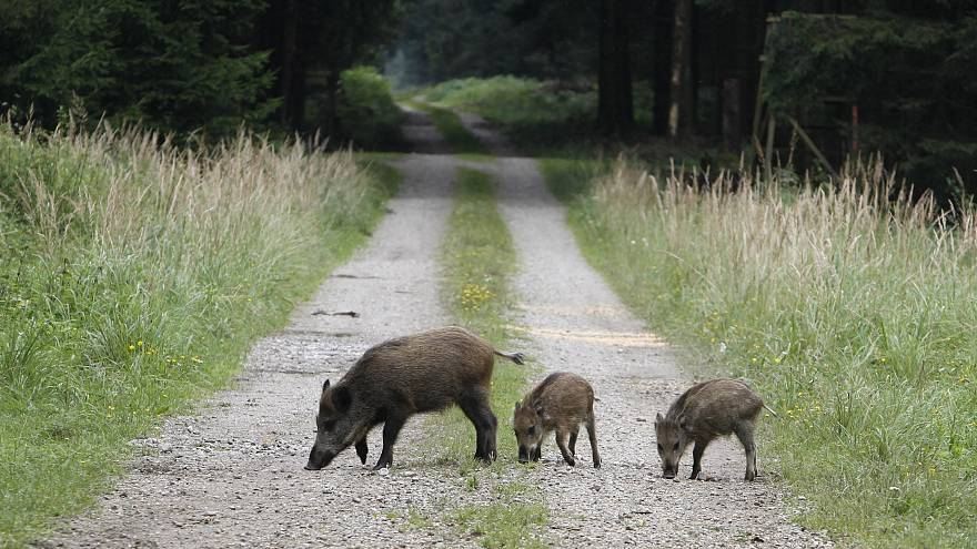 Image: Wild boars in Eglharting, Germany