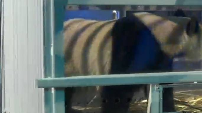 'Pandamania' grips Dutch animal lovers