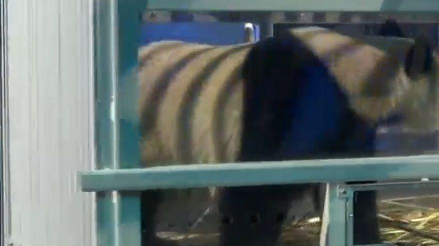 Holanda recebe casal de pandas