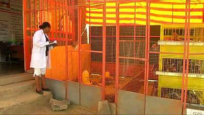 Éthiopie : le business florissant des éleveurs de volailles