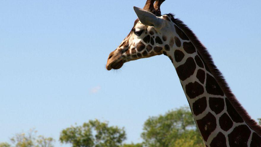 Millionen im Internet live dabei: Mama April und die Geburt des Giraffenbabys