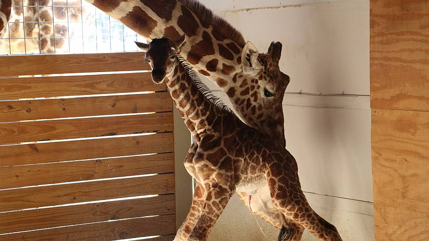 April the giraffe, mother and internet star