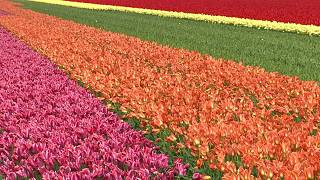 La temporada de los tulipanes ya está aquí