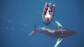 Científicos colocan cámaras en ballenas para estudiar su vida