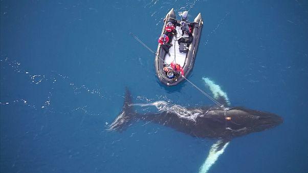 Auf den Buckel geschnallt: Wissenschaftler erforschen Wale mit Kameras