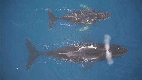 سبر أغوار عالم الحيتان عن طريق كاميرات