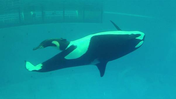 Takara, the killer whale, gives birth to calf