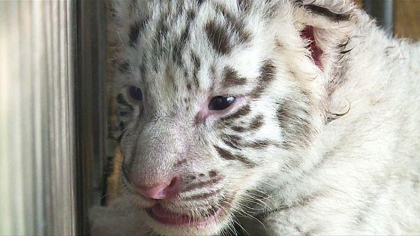 Γεννήθηκαν δίδυμα λευκά τιγράκια Βεγγάλης