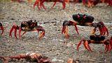 Crawling crabs in Cuba