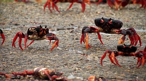 هجوم خرچنگها به خلیج خوکهای کوبا