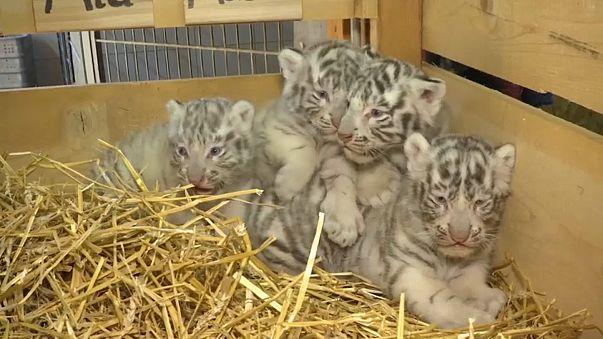 ولادة أربعة نمور بيضاء في حديقة حيوان بالنمسا