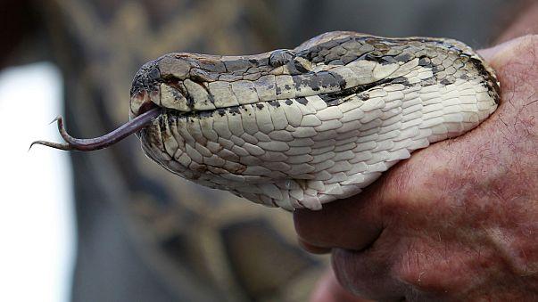 Florida snake hunters snare massive python
