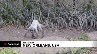 Itt a New Orleans-i állatkert új lakója, a kolobusz majom-csemete