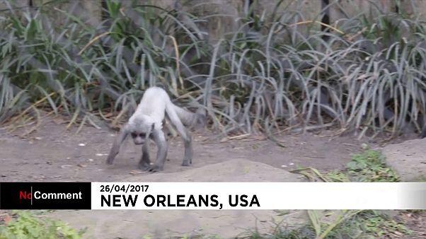 تولد گونه نادری از میمون در نئواورلئان