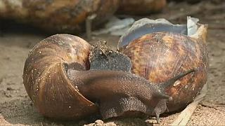 Nigerian entrepreneurs rush for growing snail market