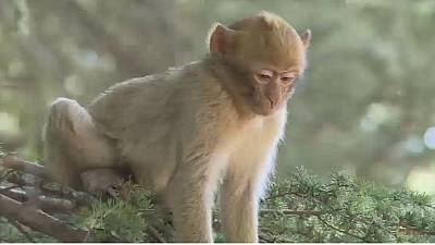 Moroccan activists move to save endangered short-tailed monkeys