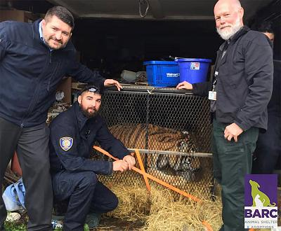 BARC\'s Animal Enforcement Officers stand next to a secured tiger as they prepare to transport the tiger to a secure location.