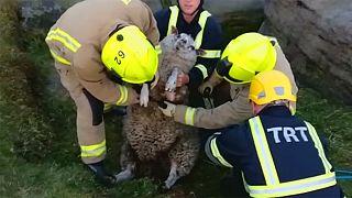 نجات یک گوسفند از میان صخره در بریتانیا