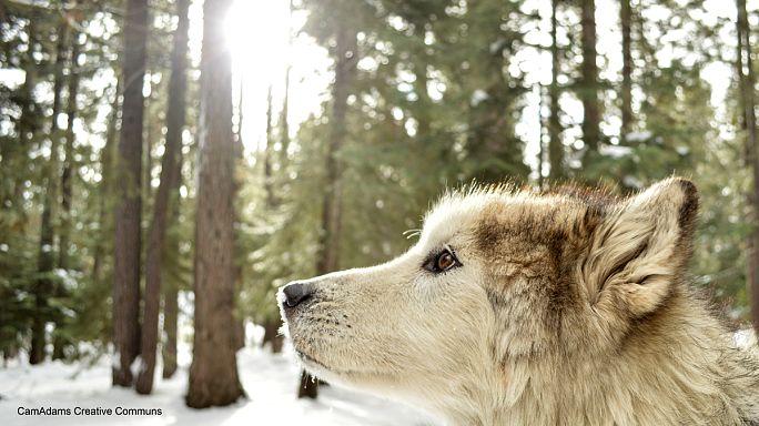 Internet-Hype: Erstes Wolfspärchen in Dänemark seit 200 Jahren?
