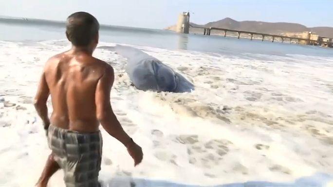 إنقاذ حوت أبيض جنحَ إلى شاطئ في المكسيك