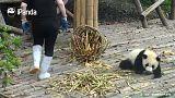 [شاهد] دببة الباندا المشاغبة في الصين