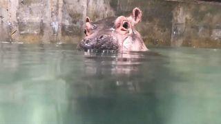 جاموس البحر حين يتعلم السباحة لتحقيق توازنه