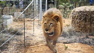 5 lions escape from a South African wildlife park