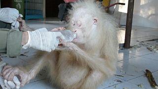 Indonesia, il raro esemplare di orangutango albino in via di ripresa