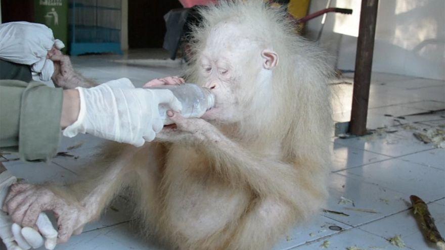 قردة من فصيلة نادرة تتعافى بعد انقاذ حياتها في آخر لحظة