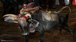 تلاش گروهی از شیعیان هندی در جلوگیری از ذبح گاو