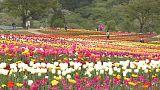 تفتح أزهار التوليب في اليابان