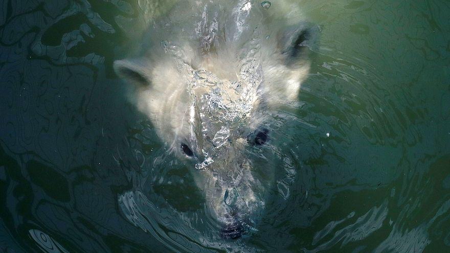 Copenhagen Zoo polar bear given dental surgery