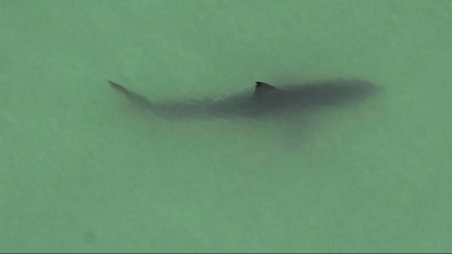 15 large great white sharks spotted near CA paddleboarders
