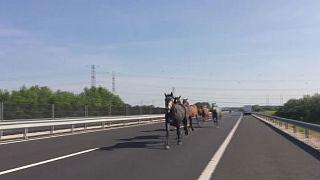 Уступите дорогу: табун лошадей на шоссе в Будапеште